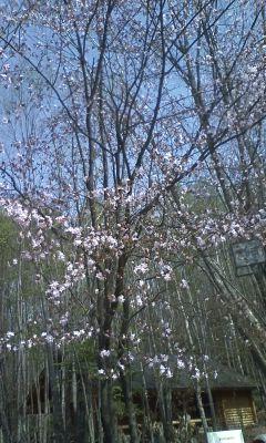 富良野の桜。